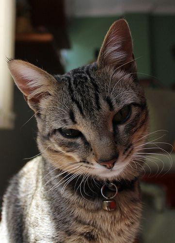 Кошечка в ошейнике