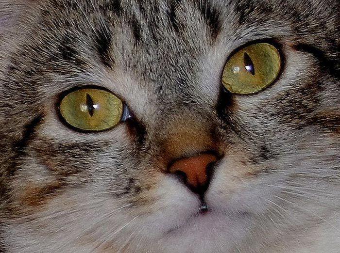 Желтоглазый котик