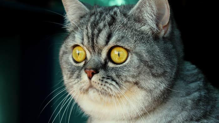 Британец с желтыми глазами