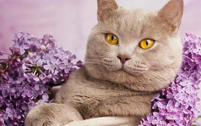 Британская короткошерстная кошка фото, вариации британской ... | 500x800