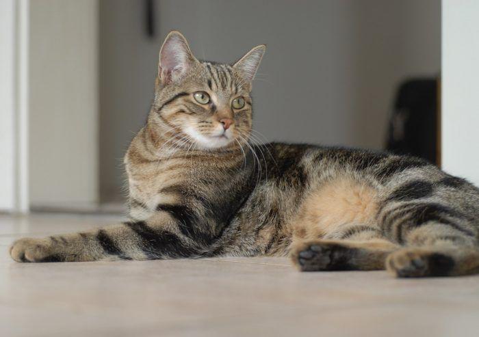 Бразильская кошка