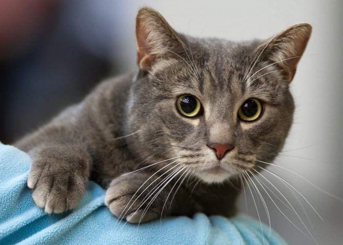 Серый бразильский кот