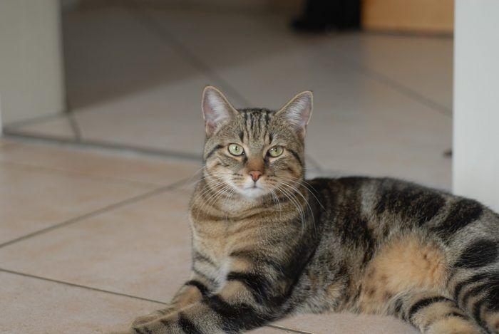 Бразильский кот