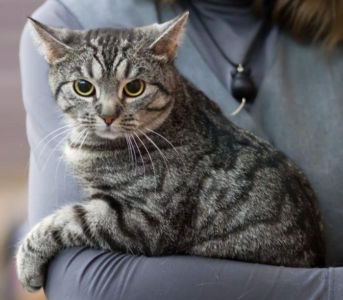 Серая бразильская кошка