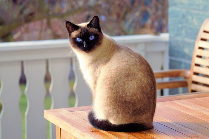 Сиамская кошка с черным хвостом