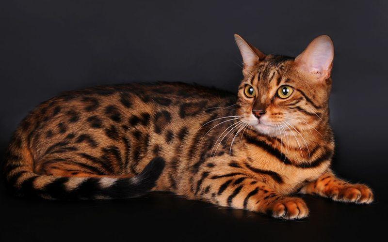 Кот-тигр