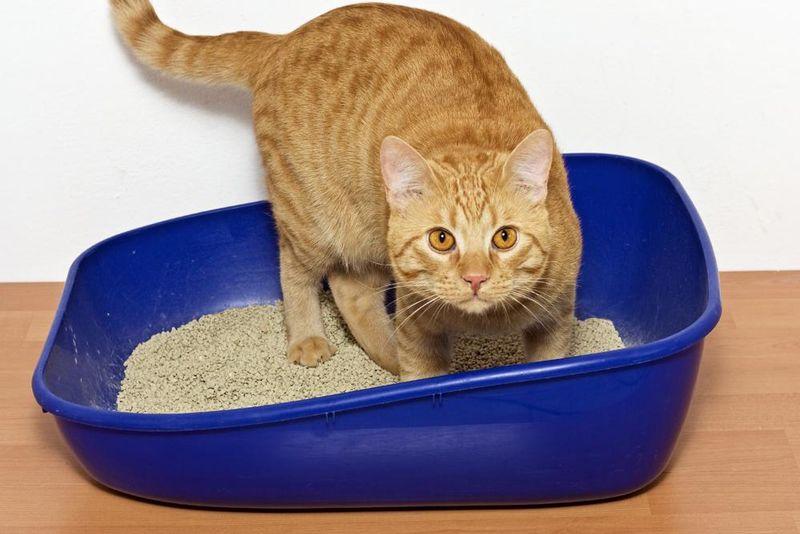 Кот не может сходить в туалет по маленькому: причины и как помочь в домашних условиях