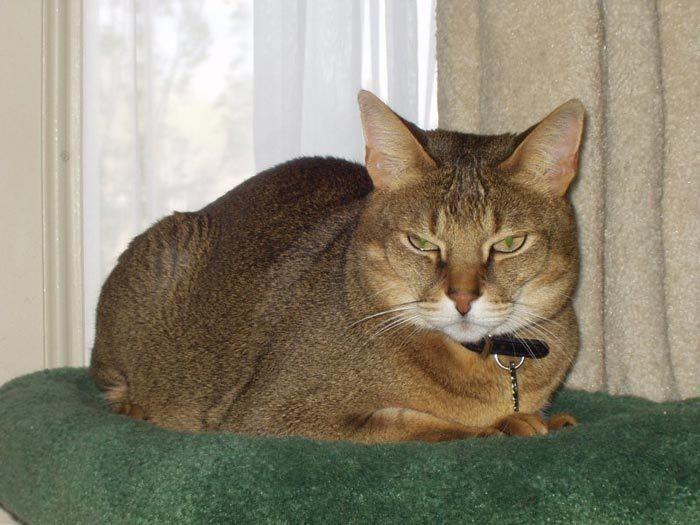 Кот чаузи в ошейнике