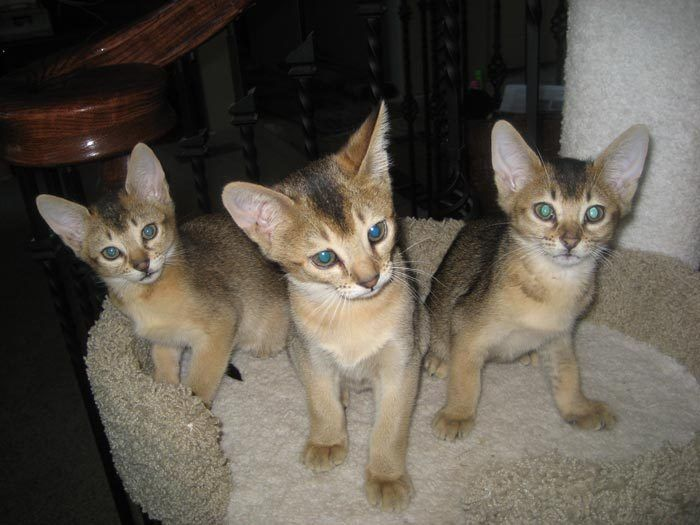 Три котенка хауси