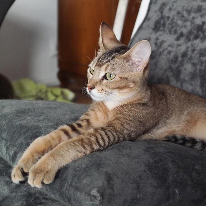 Кот хауси с полосами на лапах