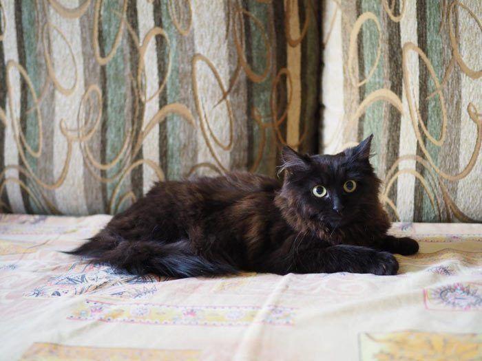 Йоркская кошка