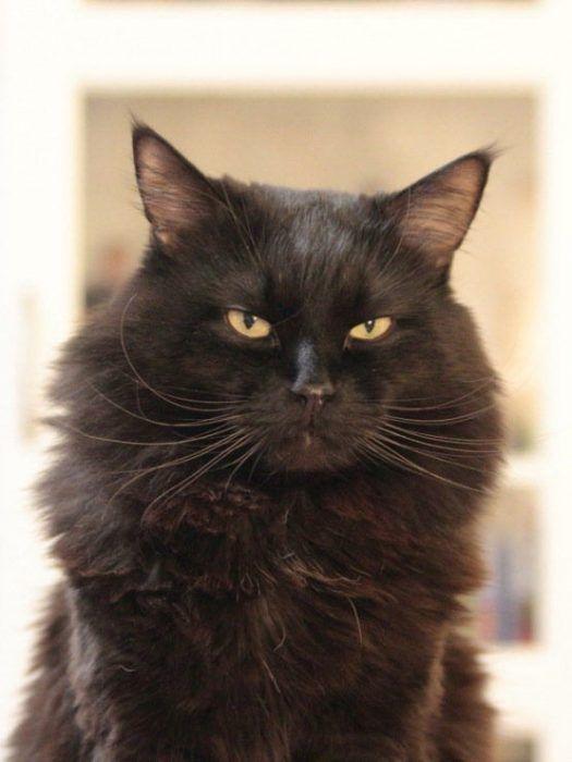 Пушистый кот шоколадного цвета