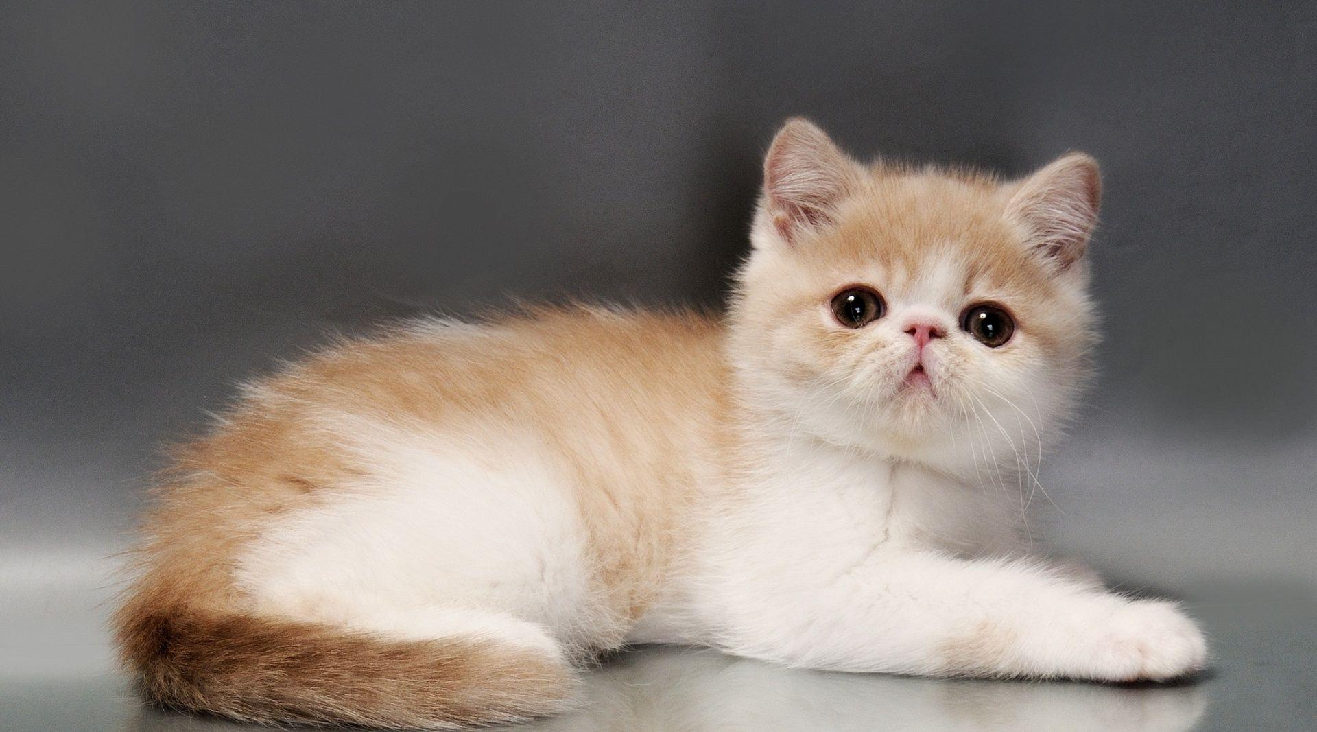 хозяйство котята экзотические картинки укуса