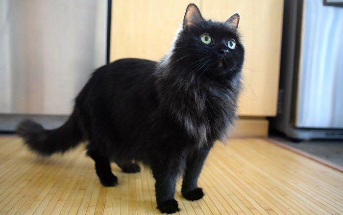 Пушистый темный кот