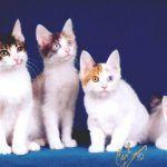 Четыре котенка бобтейла