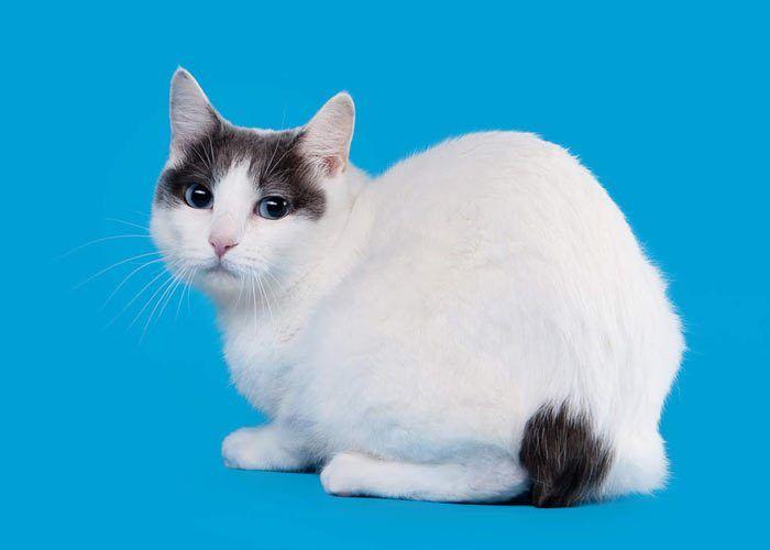 Белый с черным кот