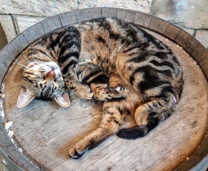 Кошка с Кипра