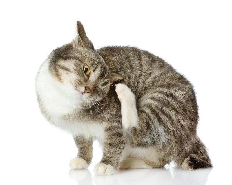 Кот постоянно чешется и вылизывается: что делать, если питомец расчесывает шею до крови