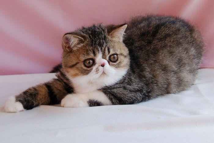 Двухцветный кот экзот