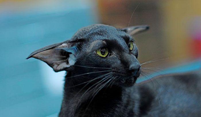Черный кот с большими ушами