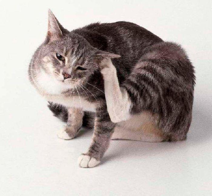 Кот дымчатый
