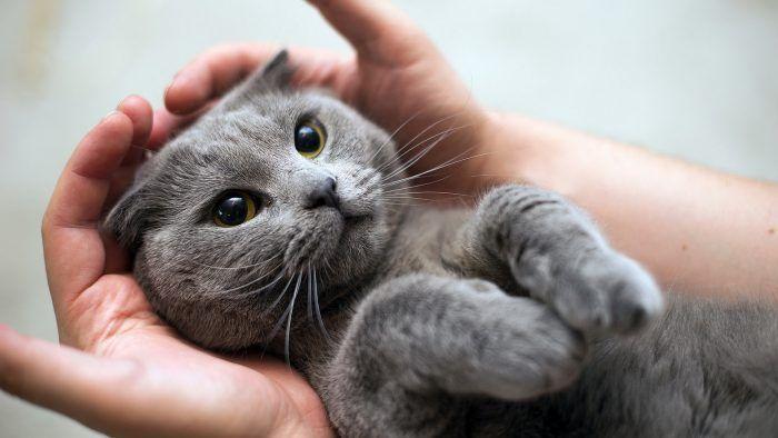 Котенок дымчатый