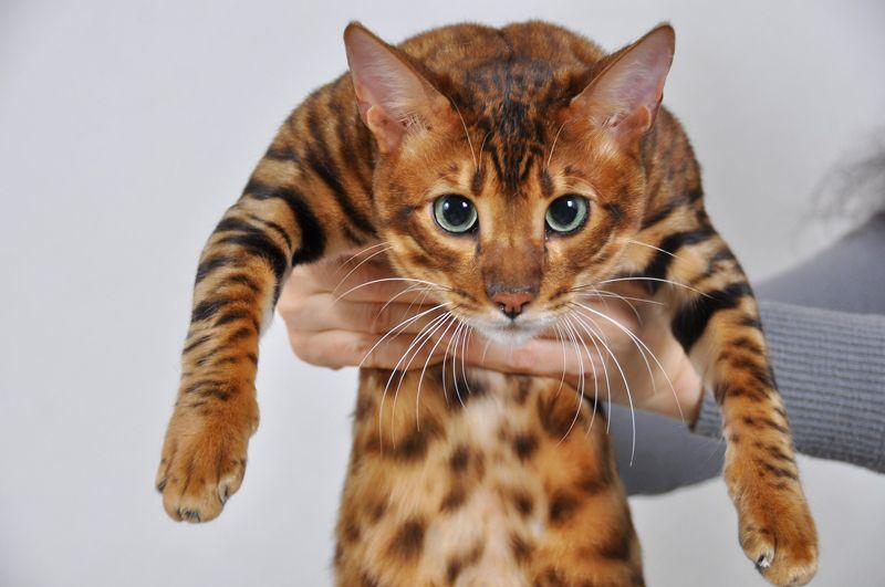Кот Тойгер