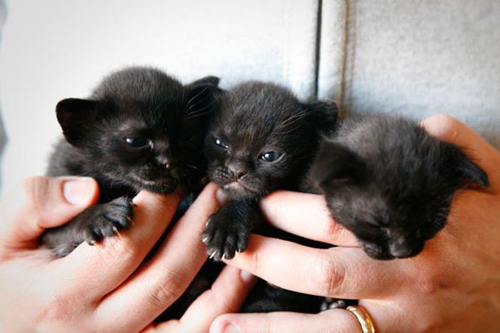 Три бомбейских котенка