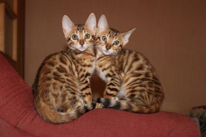 Маленькие котятки бенгала