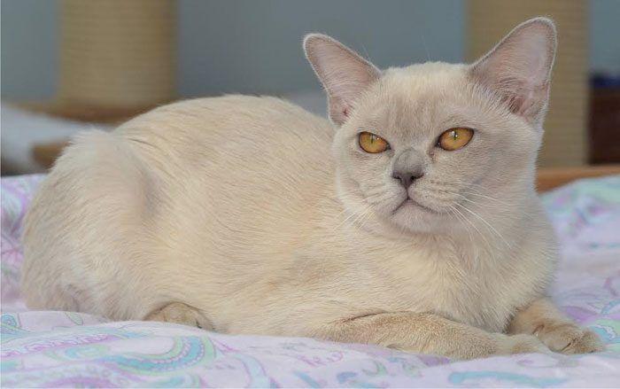 Лиловая бурманская кошка