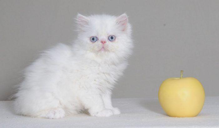 Белая кошка наполеон