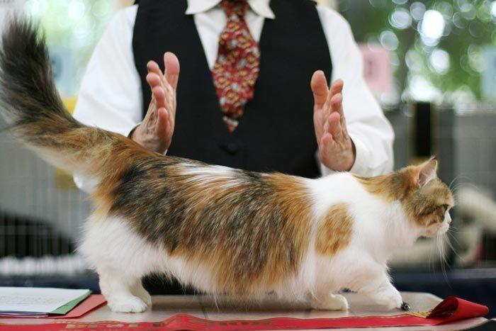 Трехцветная кошка наполеон