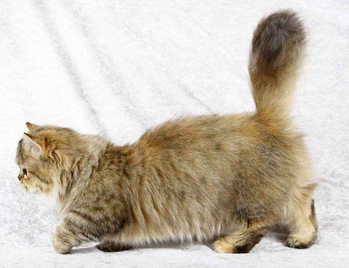 Коротколапые кошки порода наполеон thumbnail