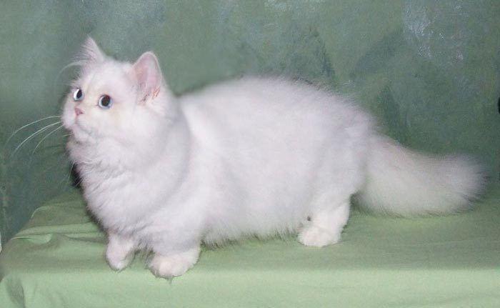 Белый котик Наполеон