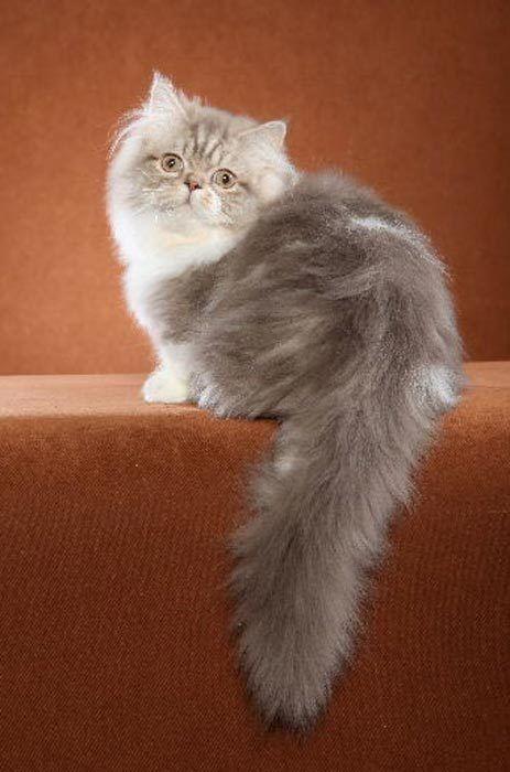 Пушистый кот Наполеон в полный рост