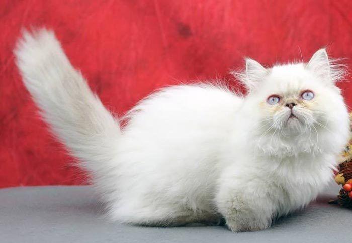 Белый котенок Наполеон