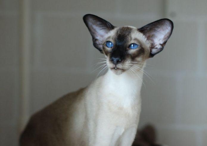 Большие уши у кота