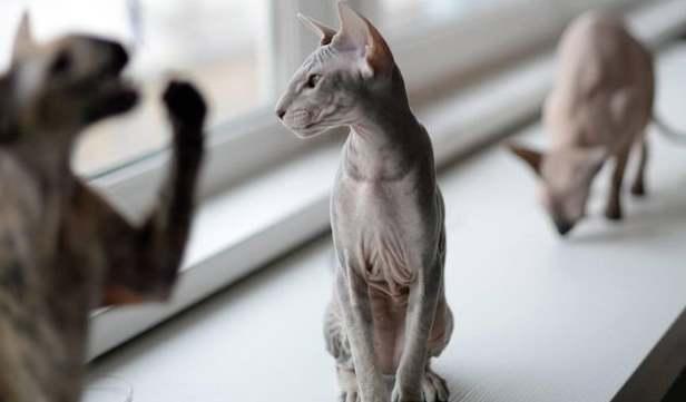 Петерболд на окне