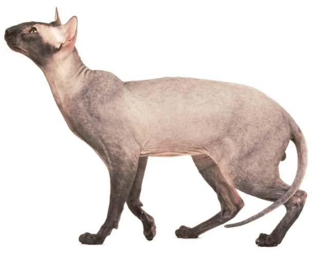 Кот петерболд