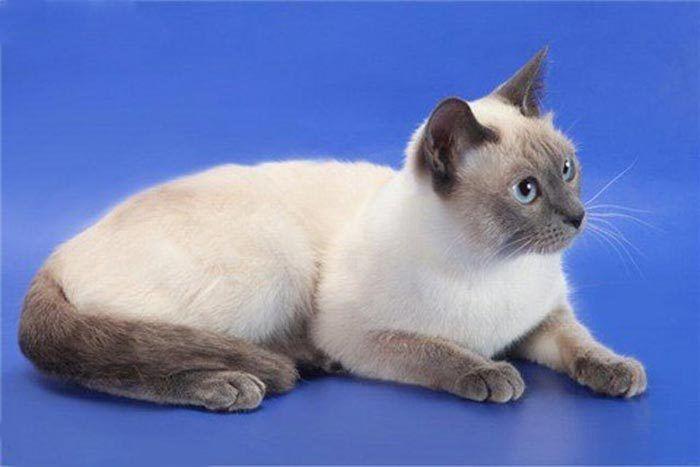 Платиновая кошка