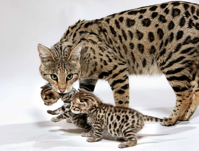 Котята и кошка
