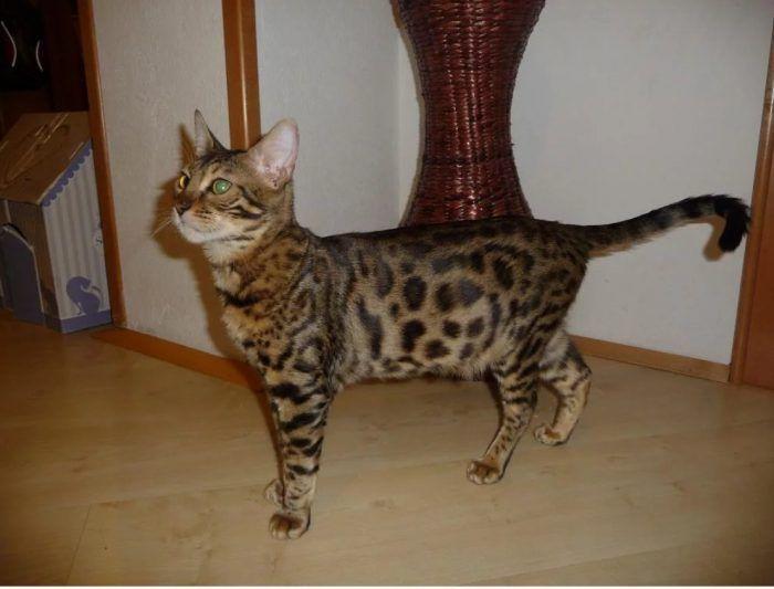 Котик серенгети