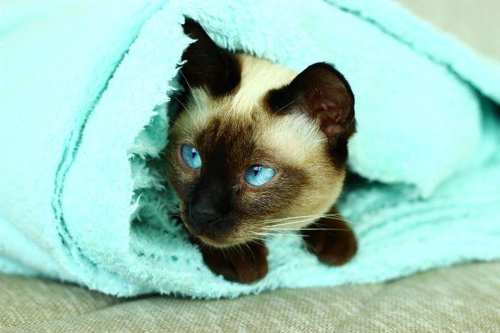 Черноухий кот