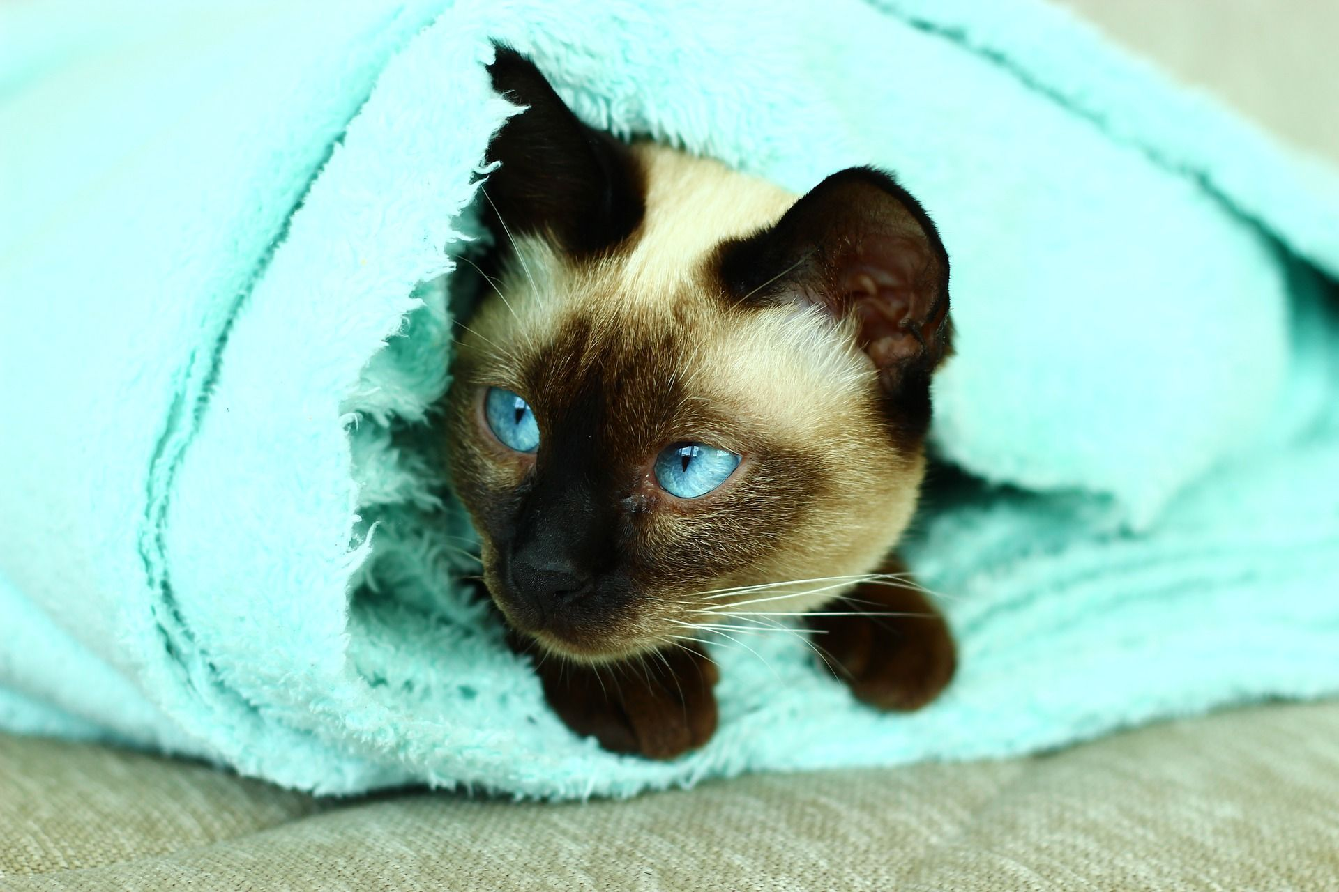 Ченоуxий сиамский кот