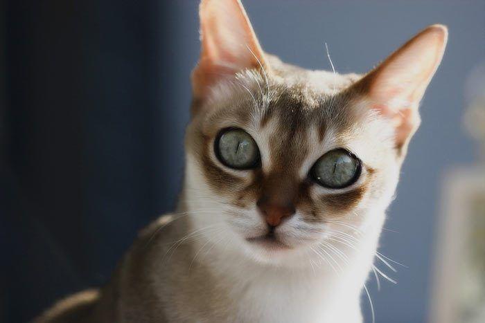 Сингапурский кот