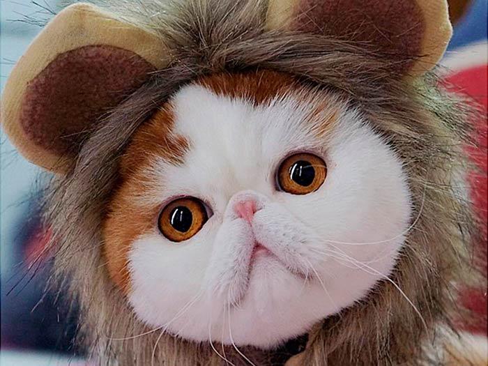 Японская кошка с большими глазами порода