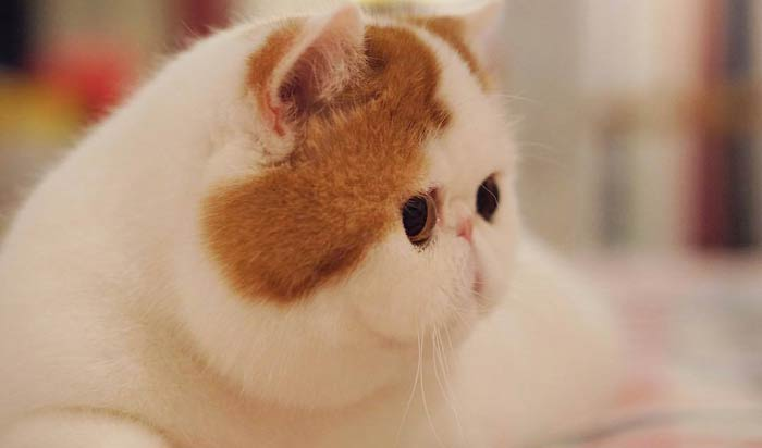 Плоская морда у кота