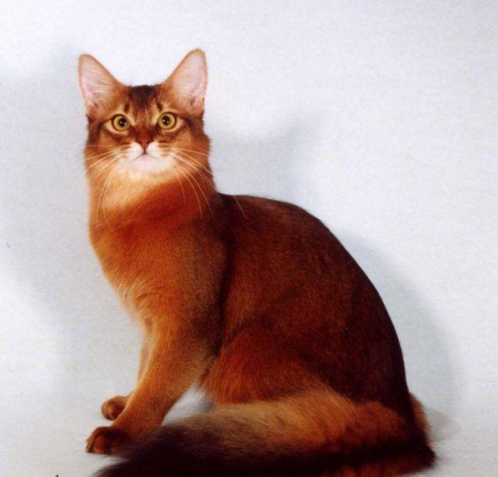 Рыжая кошка сомали
