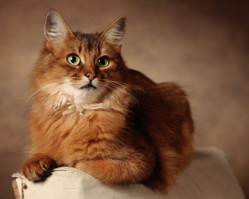Сомалийская кошка (55 фото): порода сомали, какие котята, описание, видео