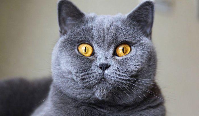 Большеглазый серый кот